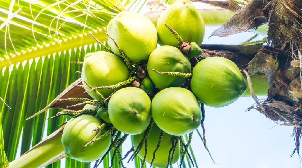 kokosova-palma kokosové mléko